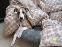 Fawn whippet puppy Gala