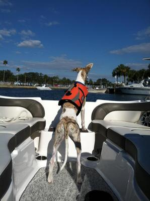 whippet on boat