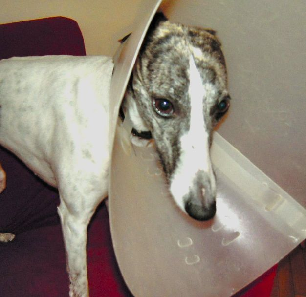 Dog Wound Care How And When To Treat Dog Wounds At Home