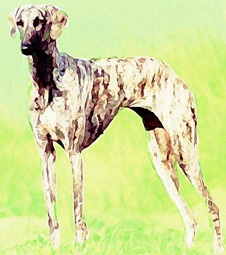 Rampur Greyhound Dog Sale