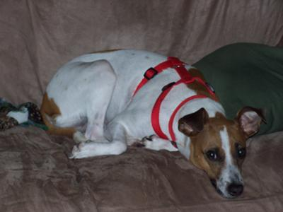 Abby: Whippet & Jack Russell Terrier Mix (We Think)