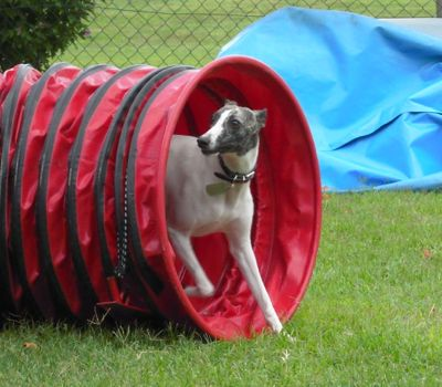 Whippet enjoying dog agility, the tunnel