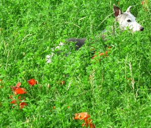 Whippet hunting in the grass