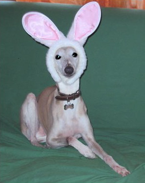 Whippet with bunny ears