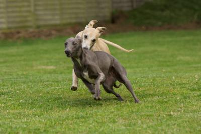 Rapid Whippets