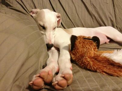 Whippet toes.