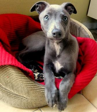 Whippet photos - A gorgeous gray puppy from Ireland