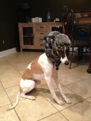Whippet with hunting hat