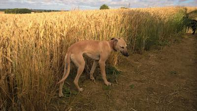 Zippy, rough working whippet, Gypsy stock, 8 months.