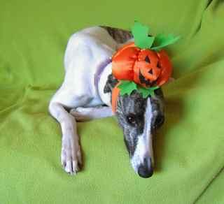 Whippet with Halloween pumpkin