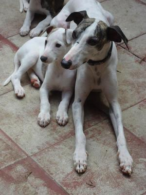 Whippet puppy and uncle, both beautiful for me!
