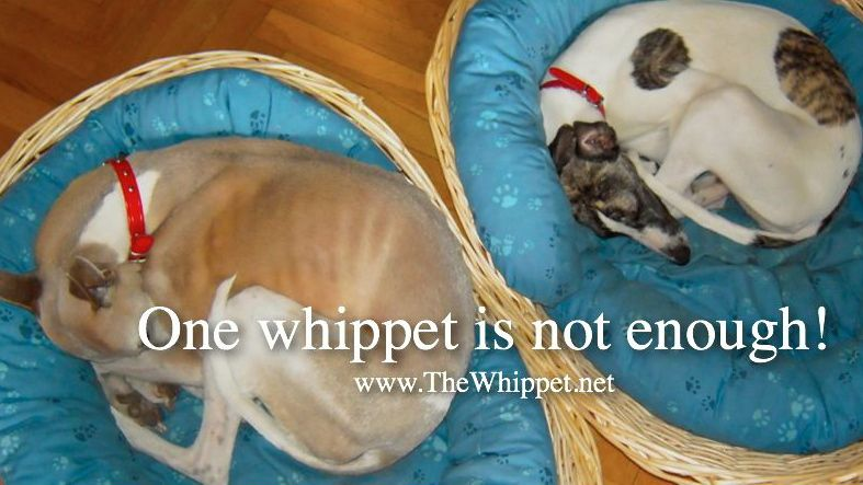 One whippet is not enough!
