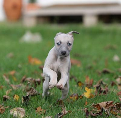 Whippet Pup S First Days At Home