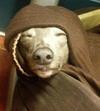 Jedi Whippet
