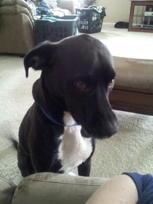 Tink - Whippet/Lab mix