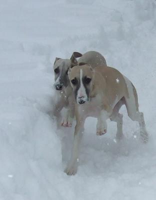Orion & Wegman from our 2009 litter