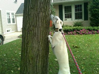 Trying to chase a squirrel up a tree :-)