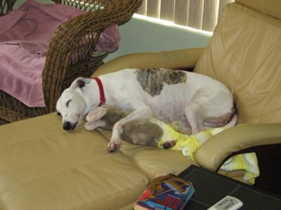 Whippet Dog Photo Contest Hello Dolly A Rescue Success