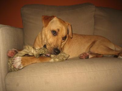 Boxer Whippet Mix