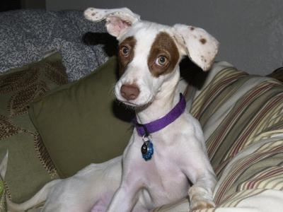 Image Gallery whippet mix