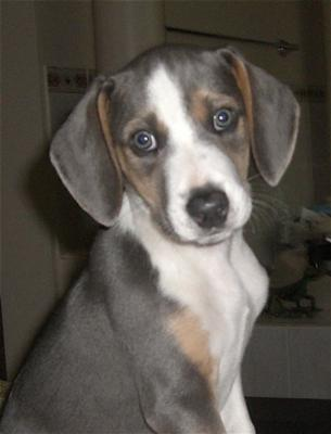 whippet mix puppies