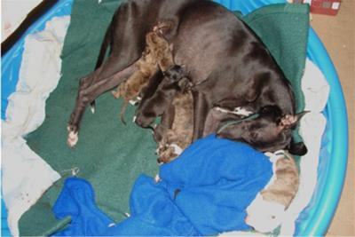 Contented Mama with beautiful two-day-old puppies.