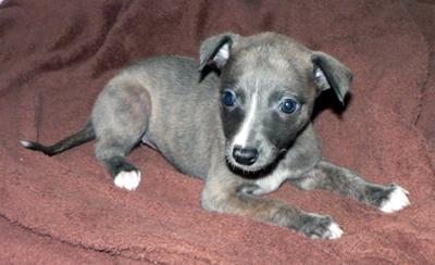 Whippet Puppies Pictur...