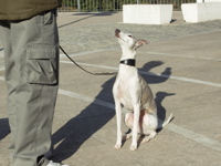 Whippet training, whippet sitting