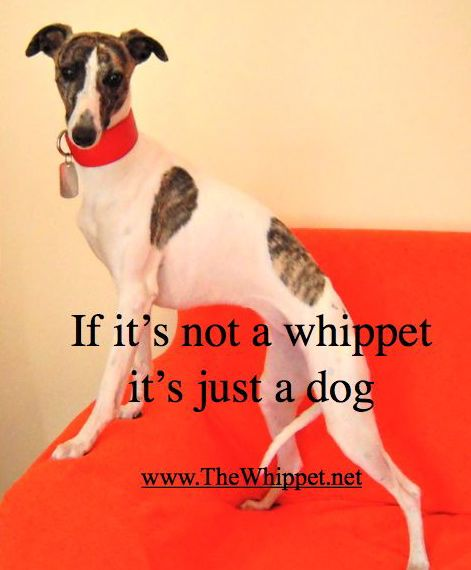 If it's not a whippet, it's just a dog