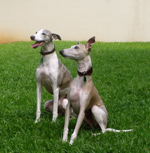 Whippets sitting