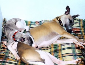 Whippet puppy and adult