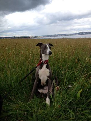 Dexter the whippet in a field