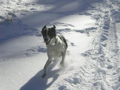 Bonnie running in the snow.