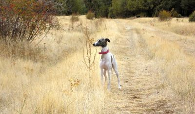 Whippet in the country
