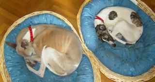 Two whippets in their baskets