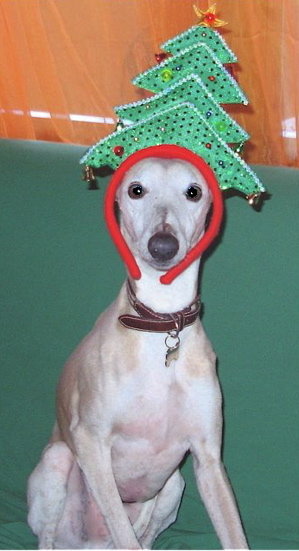 Whippet with Christmas tree