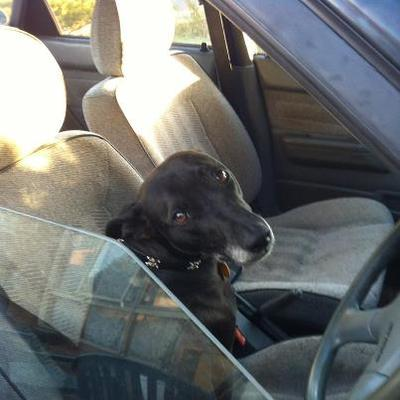 I wonder who's doing the driving today? A Whippet perhaps ?