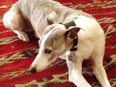 Whippet on red carpet