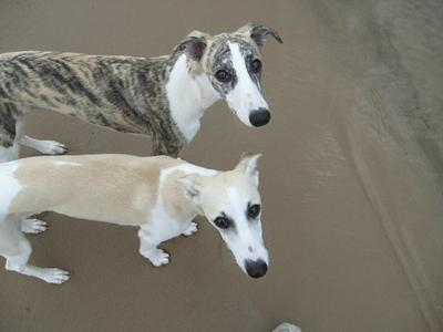 Two Whippets are Better than One