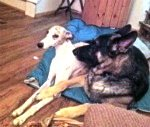 Tank the Whippet and our 2 GSD by Judy Anderson