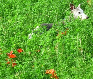 Enzo Hunting in the Grass